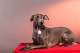 Portrait of a Italian Greyhound on leash standing on top of red table in studio with red light in background
