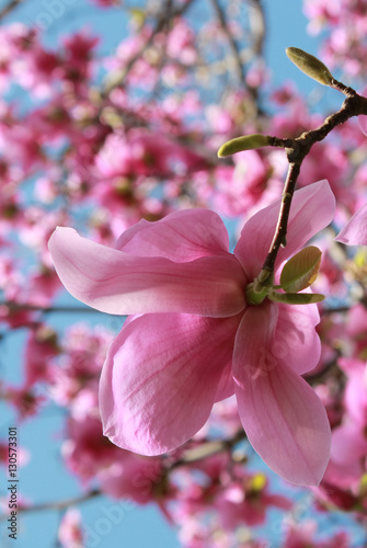 Magnolia tree in bloom vertical image Poster