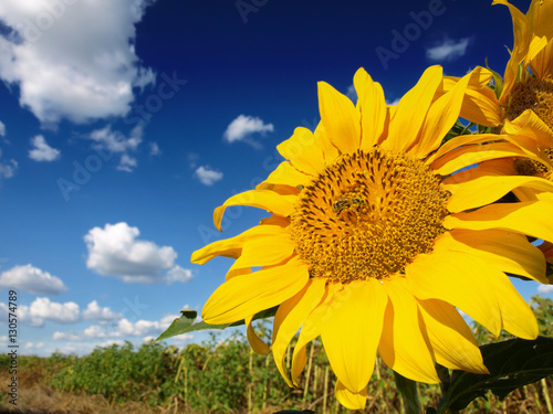 Poster Beautiful sunflower