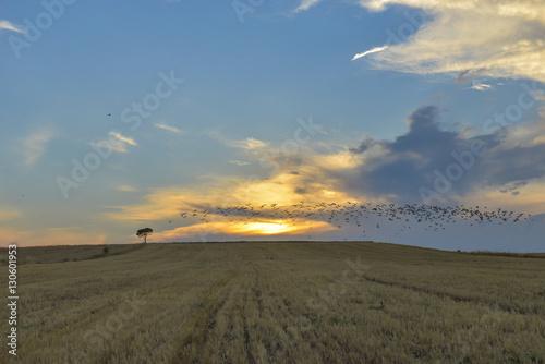 Poster tarladaki kuş sürüleri