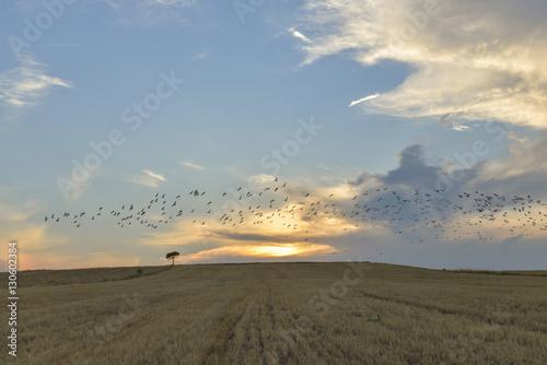 doğa,kuş sürüsü ve günbatımı manzarası Poster