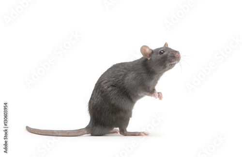 Foto Murales rat isolated on white background