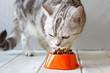 Grey cat eating food from orange cat bowl.
