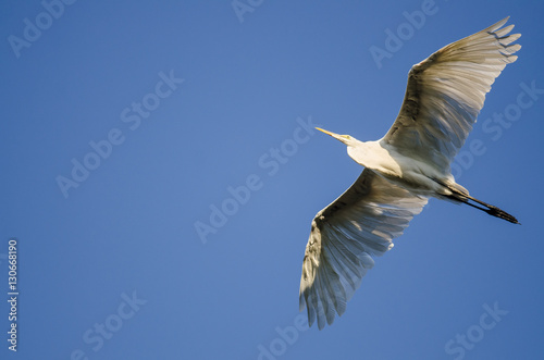 Poster Great Egret Flying in Blue Sky