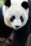 Closeup Portrait of a Giant Panda