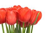 tulips on white background, close up