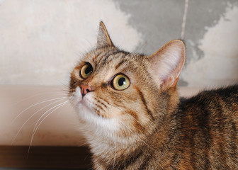 Striped cat on a background of shabby wall