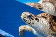 A sea turtle under water in an Aquarium