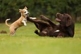 Fototapety Welpe spielt mit Labrador