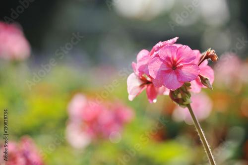 Leinwandbild Motiv cluster of Geranium flowers in the morning