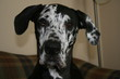 George Great Dane