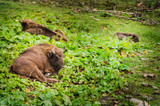 Herd of Bisons and calf at Bialowieza National Park