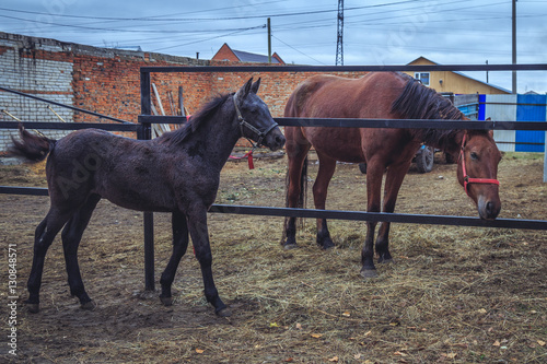 horse and foal in the pen on the farm © fedorovekb