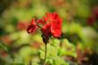 Leinwandbild Motiv geranium flowers