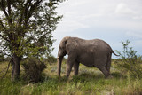 old elephant resting in the shade of a large tree   in the Etosh
