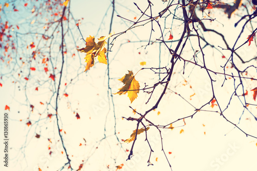 Fototapeta Yellow autumn leaves in a forest against the sky