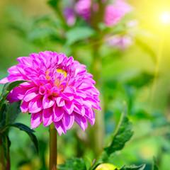 flower dahlia illuminated by sunlight. Focus on a flower. Shallo