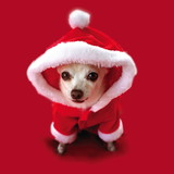 Furry Christmas and Fluffy New Year with adorable white chihuahua in a Santa Claus Suit.