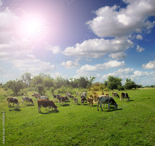 Fotobehang Purper Cows grazing on a green summer meadow