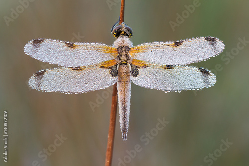 Poster Four-spotted chaser (Libellula quadrimaculata) with dew drops and nice background on a silent morning