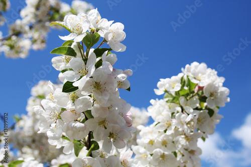 Apfelblüten im Frühling Poster