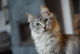 Junge Norwegische Waldkatze Portrait