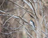 Woodpecker.  Small bird resting on Winter