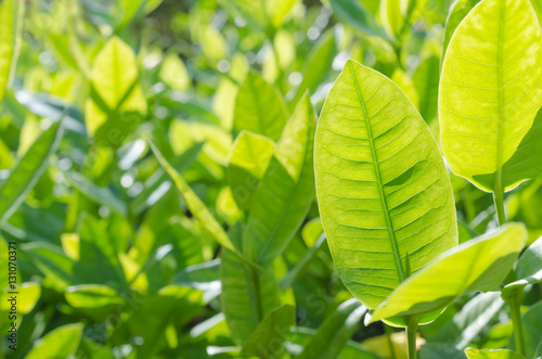 Staande foto India Copy space of nature green leaf abstract texture background.