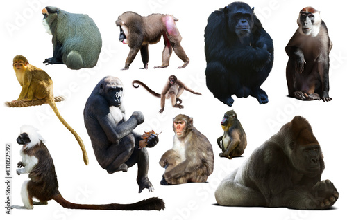 Poster set of primates