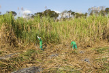 Cutting sugar cane for rum production Brazilian