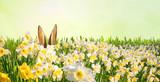 Osterhase versteckt sich in einem Feld voller Narzissen