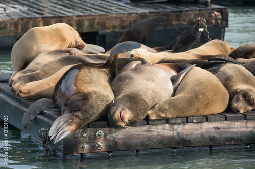 Poster Group of sea lion on the pier