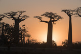 Baobab trees in sun set.