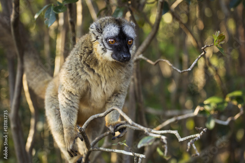 Lemur in their natural habitat, Madagascar. Plakat