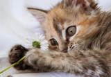 A curious kitten playing with a daisy