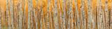 ultra wide autumn birch forest pattern.