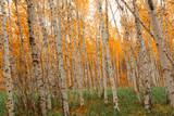Autumn birch forest pattern.