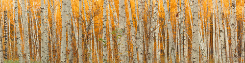 Fotobehang Berkenbos ultra wide autumn birch forest pattern.