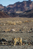 Fox in Death Valley California