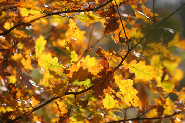 oak tree in yellow autumn foliage in the Park