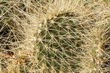 Close up of spiny prickly pear cactus sections