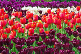 flowerbed with pink, white and purple tulips in the park