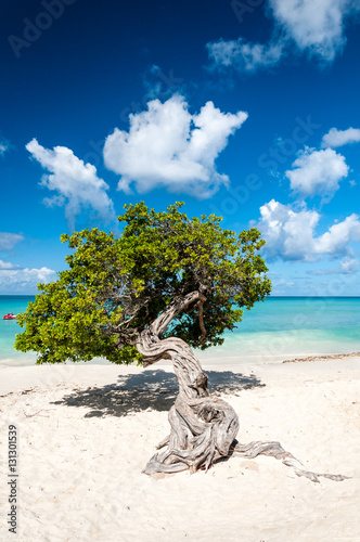 Poster Typical fofoti tree at Eagle Beach in Aruba, Netherland Antilles