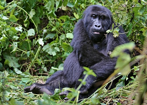 Poster Endangered eastern gorilla in the beauty of african jungle, silverback and famil