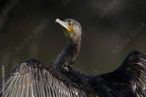 Poster The dark Cormorant (phalacrocorax carbo)