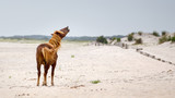 Assateague Wild Pony - 131391746