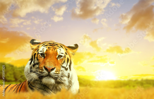 Poster Siberian Tiger in the sunset.