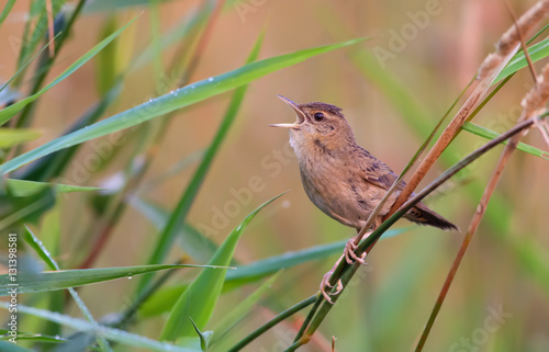Poster Adult male Common grasshopper warbler singing in grass