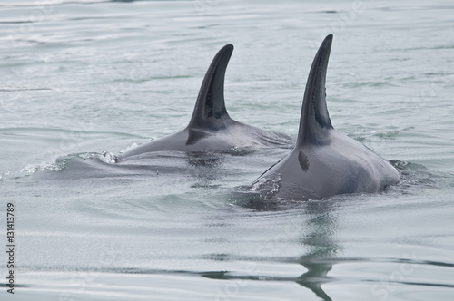 Poster Pair of Orcas, Alaska