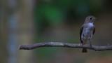 Beautiful black Flycatcher bird, Dark-sided Flycatcher (Muscicapa sibirica), standing on a branch